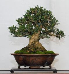 Specific Bonsai care guidelines for the Olive by bonsireempire.com Olive bonsai tree (Olea Europaea)