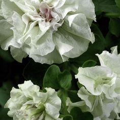 Kerrattu petunia Double White - Viherpeukalot