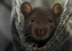 Eigentlich sind doch die Ratten - Babys sooooo .... süß!