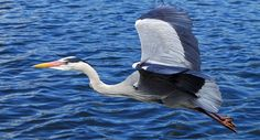 Heron, Blue Bird – Spirit Animal, Symbolism and Meaning Nature Images, Nature Photos, Sky Photos, Hd Wallpapers For Pc, Grey Heron, Animal Symbolism, Migratory Birds, Free To Use Images, London Pictures