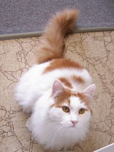 """I want a Turkish Van Cat like this one. They are nicknamed """"The Swimming Cats"""" cause they love water."""