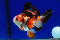 Tri-Color Broadtail Ryukin 4.75 inches » DandyOrandas.com