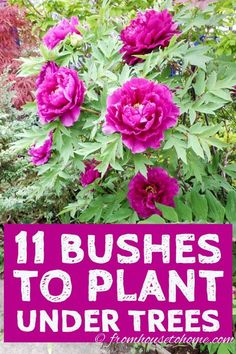 Shade Loving Shrubs: 11 Beautiful Bushes To Plant Under Trees - Gardening @ From House To Home - I love these bushes to plant under trees! So many beautiful evergreen shrubs with varieties that bl - Shade Garden Plants, Garden Trees, Garden Bed, Garden Shrubs, Shaded Garden, Herb Garden, Vegetable Garden, Evergreen Bush, Evergreen Shrubs