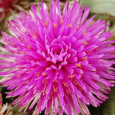 We stopped in our tracks the first time we saw 'Pink Zazzle' gomphrena. Its big, bright, petal-packed blooms explode with color all summer long! http://www.bhg.com/gardening/gardening-trends/new-annuals-for-2015/?socsrc=bhgpin041515pinkzazzle&page=8