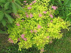 goldflame spirea in bloom