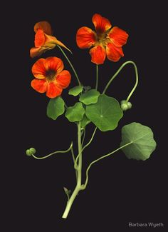 Nasturtium by Barbara Wyeth