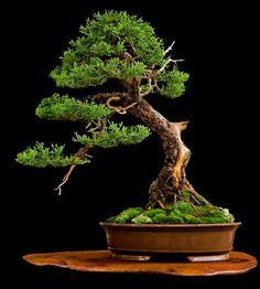 ~ Beautiful Bonsai ~
