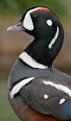 Harlequin Duck (male)