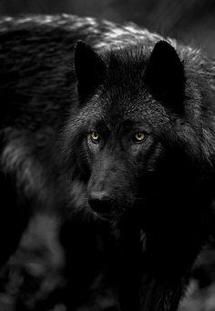 gorgeous black wolf yellow eyes (via thule2009.tumblr 55097000807)