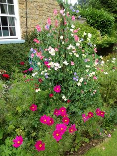 Sweet Peas and Cosmos in the front garden.