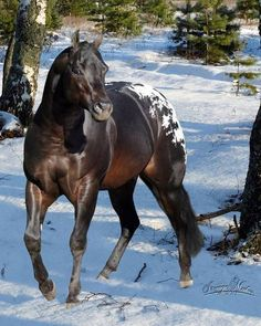 Stunning Appaloosa in the snow.