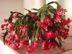 Cacto flor-de-maio-vermelha  (Schlumbergera truncata)
