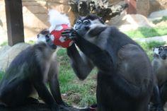LA MORAL DE LOS ANIMALES, de Enrique Leite. Una investigación concluye que conceptos como la compasión, la justicia o la propiedad son también unas constantes en el mundo de los primates.