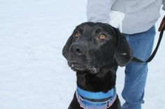 Pup is an adoptable Labrador Retriever Dog in Midland, MI. 1 1/2 year old Neutered Male. Pup is an active outgoing dog. He needs some training and manners. Adoption fee $125 includes neuter, vaccin...
