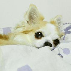 ねむいんだもの  #dekachiwa #chihuahua #dog #チワワ #ふわもこ部 #chihuahuaofinstagram