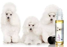 POODLE RELAX DOG AROMATHERAPY Your Poodle is probably one of the smartest dogs you have ever met. Poodles are known for their superior canine intelligence and smarts. But even the smartest of dogs can