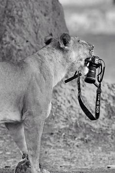 Two important things in my life  Camera and lion