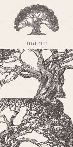 Old olive tree, vintage style. Illustrations. $8.00