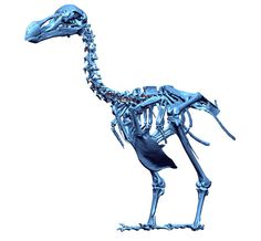 Scientists have completed a 3-D laser scan of the only two remaining dodo bird skeletons.  This is all that's left of the species.