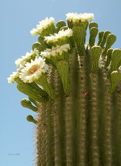 Saguaro Blooms  		The Saguaro cactus of the Sonoran desert, in full bloom. Shot west of Tucson Arizona