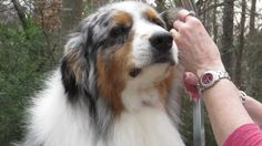 Groom Your Australian Shepherd A Basic Introduction