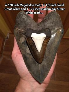 """6 inch Megalodon tooth, 3 inch fossil Great White and 1 inch modern day Great White tooth. """"Megalodon: Largest Shark that Ever Lived"""" returns to the Florida Museum of Natural History this October! Great White Teeth, Great White Shark, Dinosaur Fossils, Wale, Extinct Animals, Prehistoric Creatures, Prehistoric Man, Rocks And Minerals, Anthropologie"""
