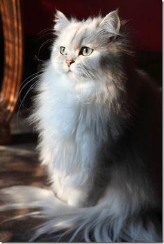Tão fofo! Faz-me lembrar os meus, a fofinha e o tiquinho ^_^ Veja este link >> http://www.universodegatos.com/gato-persa/ ~ O gato persa representa o glamour no mundo dos felinos. Em gatinhos, são umas bolas de pêlo adoráveis que até acabam por se perder no seu pêlo longo. Aprenda a identificar, cuidados e outros aqui.