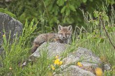 http://us.123rf.com/450wm/sundaribardia/sundaribardia1503/sundaribardia150300059/37571177-vulpes-vulpes-baby-red-fox-in-the-forest-vosges-france.jpg?ver=6