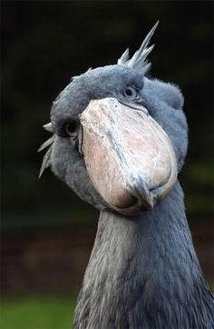 Shoebill bird Google images