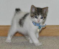 Precioso gato bobtail japonés