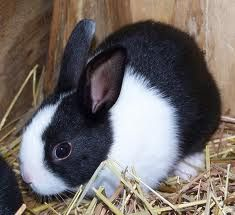Dutch bunny rabbit! I wish I had pictures of my bunbuns when he was little. This will have to do. :-)
