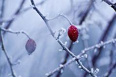 Szrona, Zima, Dzika Róża, Biały, Zimno