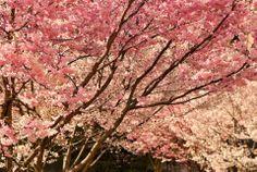 A Lausanne aussi, la saison des cerisiers en fleurs a commencé! A découvrir sur printemps.24heures.ch