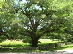 """The Bedford Oak - At the corner of The Hook Road and the old Bedford Road (now Cantitoe Street) stands a majestic and venerable white oak tree, """"Quercus alba"""". It is estimated to be over 500 years old, its girth is more than 30 feet, and the spread of its branches is 120 feet from tip to tip. From the days when Bedford was Indian Territory, through the Revolutionary War and to the present, this noble tree has seen much history."""