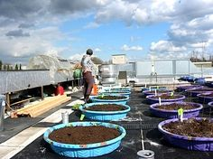 Using what looks like old paddling pools for rooftop garden beds.