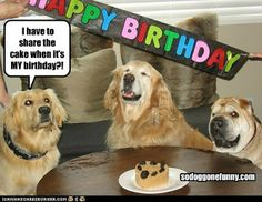 Just like little kids, who haven't learned to share! | Cute funny Golden Retriever dogs