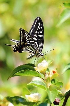 butterflies.quenalbertini: Black & white