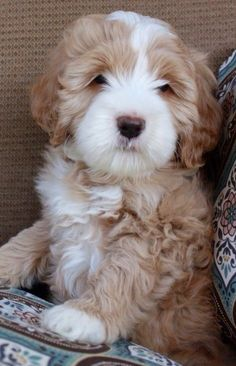 Sweet Looking Labradoodle