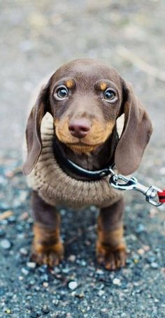 A Cute Winter Doxie Dog Puppy Top Funny Moments Showing That Dachshunds Are The Cutest Dogs If you are a Dachshund Puppies, Cute Dogs And Puppies, Cutest Dogs, Dapple Dachshund, Wiener Dogs, Daschund, Dachshunds, Doggies, Cute Little Animals