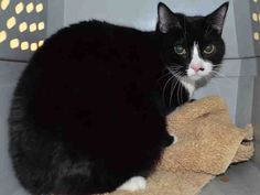 Super Urgent Manhattan - ROGUE - #A1102001 - FEMALE BLACK WHITE DSH MIX, 3 Yrs - STRAY - HOLD FOR ID Reason ATT PEOPLE - Intake 01/22/17 Due Out 01/22/17 - HISSED, GROWLED AND TRIED TO BITE