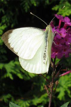 Butterfly: Large White (Pieris brassicae)