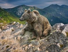 Brown bear in the Tatra Mountains - the highest range in the Carpathian Mountains that runs along the border between Slovakia & Poland. Tatra Mountains, Carpathian Mountains, Poland Facts, Central Europe, Animal Kingdom, Scenery, Wildlife, Country, City