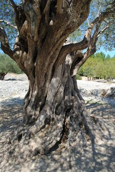 Olive tree from the year 908, Pont du Gard France