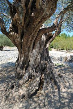 Olijfboom uit het jaar 908, Pont du Gard-Frankrijk
