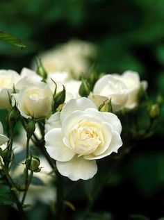 Planting a rose garden can greatly enhance your landscape. Rose growing is thought to be quite difficult by many. All Flowers, Pretty Flowers, White Flowers, Red Roses, Romantic Roses, Beautiful Roses, Beautiful Gardens, Magic Garden, Moon Garden