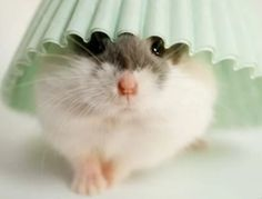 Hamster with light mint colored cupcake paper.