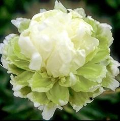 PEONIES GREEN HALO plants for sales Peony Farm WA This early to mid bloomer has unusual tuft of white petals and petaloids arise from a light green blossom petal base. Most unusual color. Green Flowers, White Flowers, Beautiful Flowers, Cut Flowers, Peony Flower, Flower Seeds, Peony Plant, Peonies Garden, White Gardens