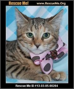 ― Arkansas Bengal Rescue ― ADOPTIONS ― RescueMe.Org
