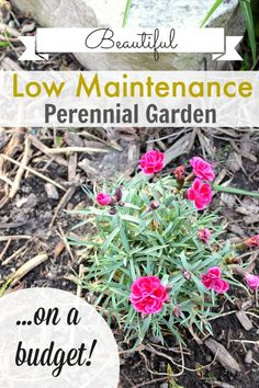 How to get a beautiful, low-maintenance perennial garden at your house on even the tiniest budget!