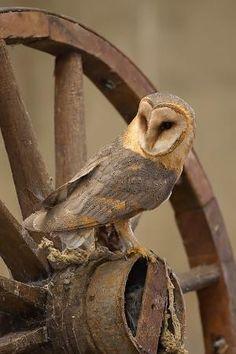 Barn Owl. by Damian Pelser